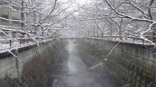 すぐ隣の目黒川の桜の木も雪化粧。
