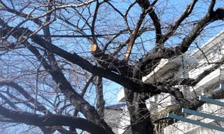 この蛇崩れ緑道の桜の枝はさっそく取り払われたようです。