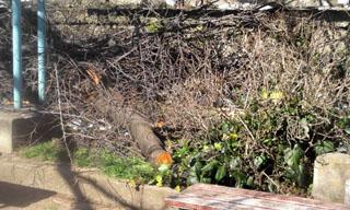 切り落とされた枝は幹と言えるような太いものを含めけっこうな量でした。