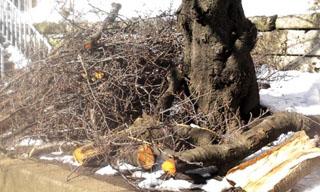 この枝たちも、あと1ヵ月半もすれば見事な花をつけたはず、可哀そう、そしてもったいない。ここの桜は見事なんです。
