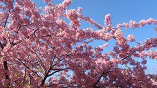 雲ひとつない青空にピンクの花が映えます。