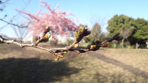 河津桜の手前には次の主役、ソメイヨシノのつぼみが少しずつ膨らんできています。