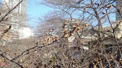 桜の主役の座が目黒川に移るのはもうちょっと先です。
