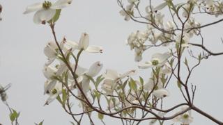 やっぱりソメイヨシノや八重桜と並んだら