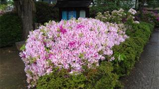 この時期はつつじの花がその前を飾っています。