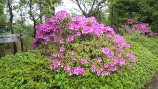 濃いピンクのものからほぼ白い花まで。
